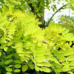 Honey Locust - I planted this beautiful yellow-green tree against a backdrop of dark green evergreens.  It is a standout, full of quiet beauty.