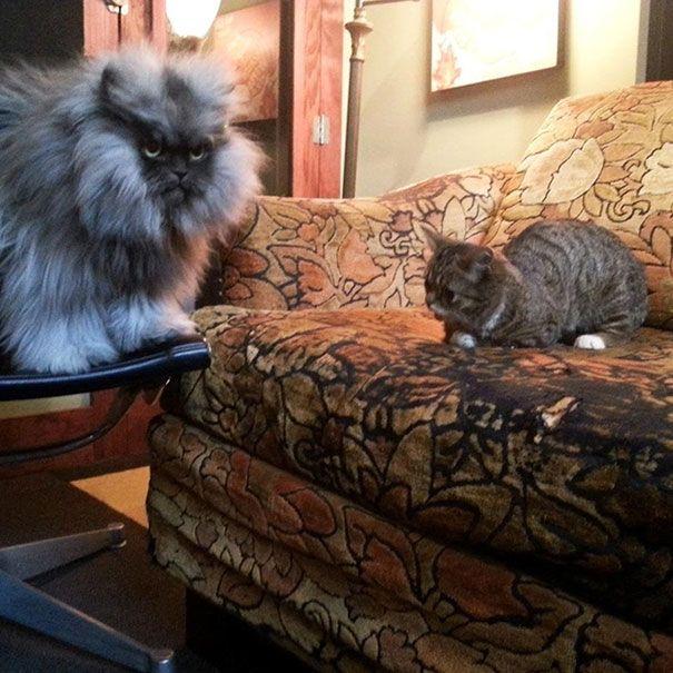 dwarf-kitten-lil-bub-cat-14.jpg 605×605 pixels
