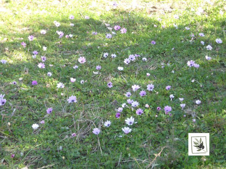 Αnemones show us every time that Spring is around the corner.