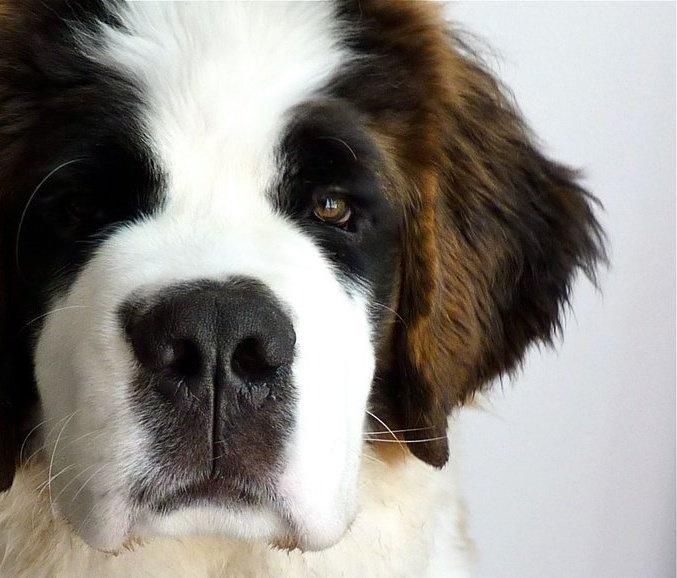 beautiful saint bernard puppy.  Check more at http://hrenoten.com