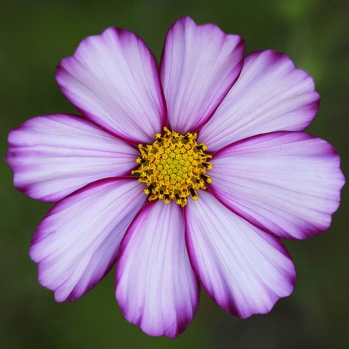 Cosmos  Cosmos is the easiest flower to grow...right out of the packet, water a lot, and watch it bloom!  Plant in masses..