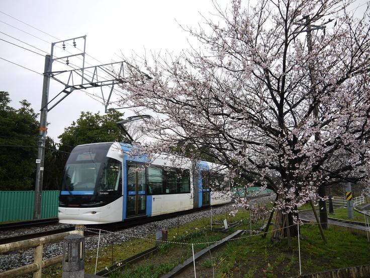 PORTRAM & sakura trees (are not still in full broom)