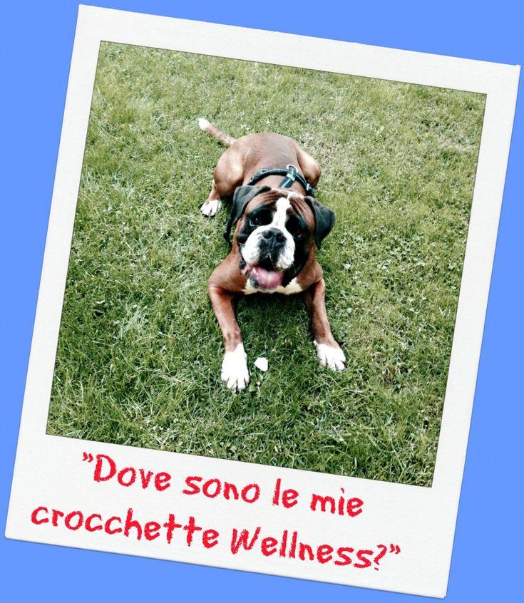 Ben, cane boxer giocherellone che mangia le crocchette Wellness