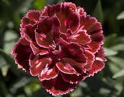 L' essenza di garofano, floreale e leggemente intensa.