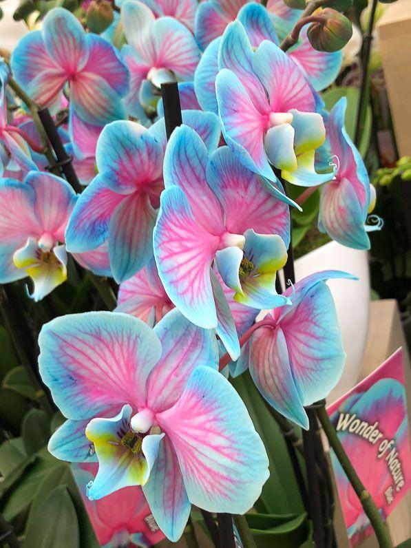 Phalaenopsis aux couleurs inouïes mais trompeuses