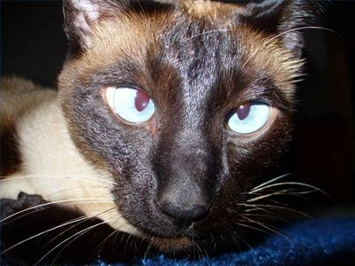 Photo Siamese Cat Eyes | Siamese Cat Eye Problems | eHow.com