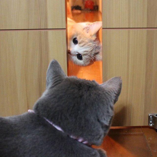 こにゃにゃちわ😸  #モモさんの成長#bluecat#graycat#catsofworld#ブリショー#にゃんだふるらいふ#もこもこ#catsoftheday#cats_of_instagram#catstagram#ねこ#ねこ部#にゃんすたぐらむ#britishblue#ねこのいる生活#cat#にゃんこ#ネコ#愛猫#ニャンコ#ブリティッシュショートヘア#ねこすたぐらむ#グレ猫倶楽部#cats#ねこばか#猫山商事#ブリ商会#キャリコ#三毛猫#みんねこ