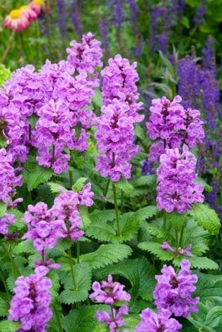 Stachys Macrantha 'Superba', Big Betony 'Superba', Stachys Grandiflora 'Superba', Betonica Grandiflora 'Superba', Purple flowers, Deer resistant plants