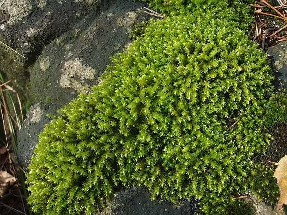 Těhovec Bezžebrý (HEDWIGIA CILIATA) Považován za kosmopolitní druh. V ČR běžný druh do nížin do hor. Rostliny za sucha našedlé nebo zelené.  Na osluněných skalách, sutích i velkých balvanech.