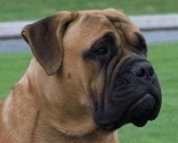 Bullmastiff. Origen: Gran Bretaña. Esta raza es el ejemplo del éxito de los intentos de criadores británicos que querían, partiendo del Mastín Inglés, obtener un perro de guardería que uniese las características de éste a las de otros de gran tamaño.