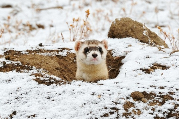 a study of the black footed ferret Occasionally black-footed ferret use ambush hunting techniques near sunrise to capture a prairie dog  black-footed ferrets have been reintroduced at 19.