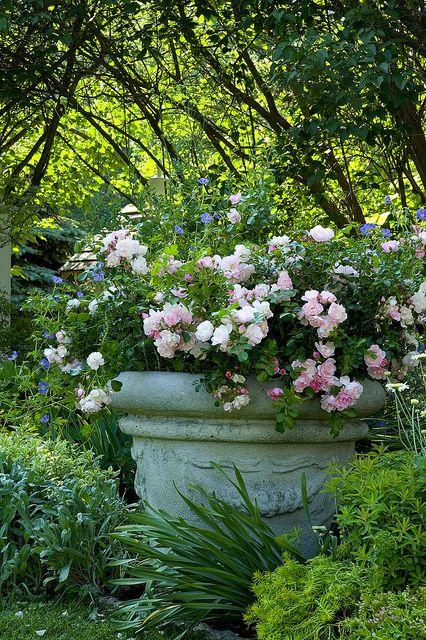 Appleblossom  rose....garden urn