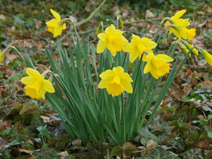Narcissus Pseudonarcissus Wild Daffodil World Of Flowering Plants Daffodil Bulbs Daffodils Perennial Flowering Plants
