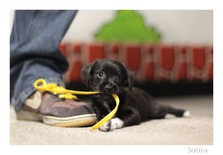 : Ties Shoes, Little Puppies, Pet, Baby Animal, Puppy, Funny Dogs Pictures, Funny Animal, Black Labs, Tiny Puppies