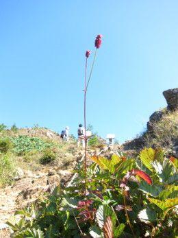 北海道のアポイ岳に咲くミヤマワレモコウが可愛らしい。