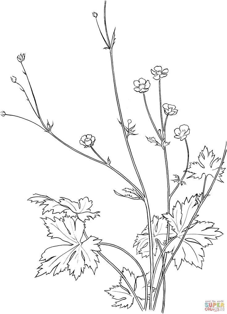 Common Buttercup Flower coloring page | SuperColoring.com