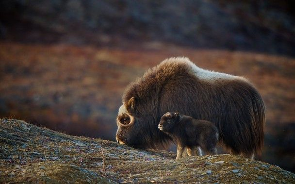 A mother Musk Ox and her youngster. Taken in spring in Alaska, the baby was only a few weeks old.