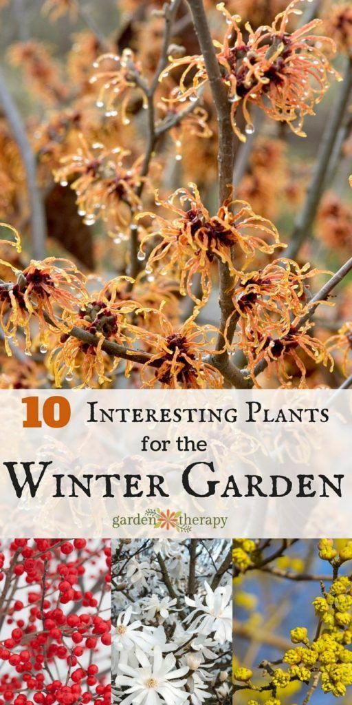 the top 10 plants to add interest to the garden in winter #wintergarden #gardentherapy #winterinterest #gardening