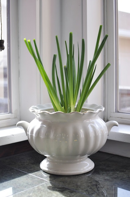 58 best growing onions images on pinterest plants for Indoor gardening onions