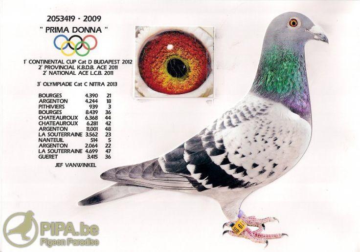 Jef Vanwinkel (Tielt-Winge, BE): inventor of the hens method in Belgium | Pigeon Paradise