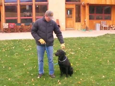 how to train a disobedient labrador puppy