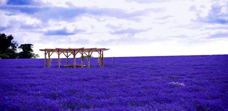 Лавандовые поля во Франции.