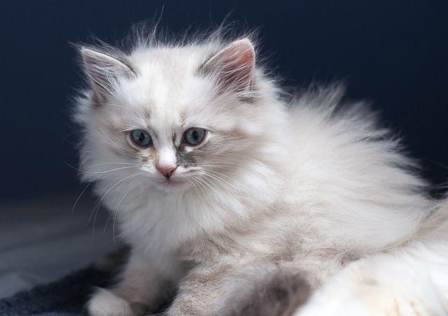 Halka, blue tortie, bicolor. Kitten Neva Masquerade 8-week-old.