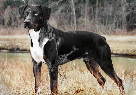 Louisiana Catahoula Leopard Dog Info, Temperament, Puppies, Pictures