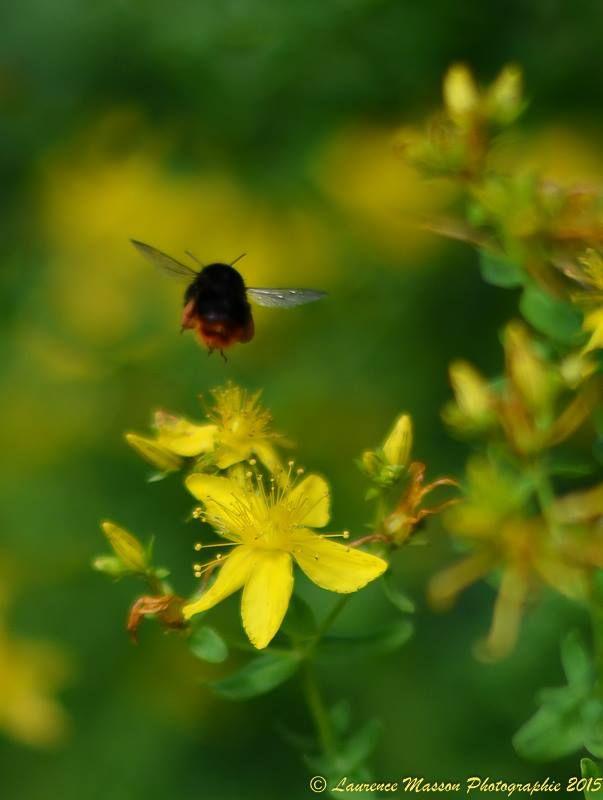 Magnifique photo, avec la nature au complet : fleur et abeille