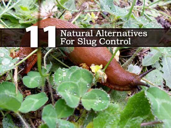 1000 Images About Slug Control On Pinterest Slug Pest Control And Natural Garden