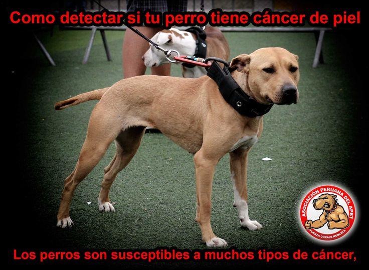 Los perros son susceptibles a muchos tipos de cáncer Al igual que los seres humanos, el cáncer es la causa de aproximadamente un cuarto de todas las muertes en perros de raza pura, hasta un sorprendente 60%de los Golden retriever. Y cuanto más viejo se pone un perro, son más propensos a los tumores. 10…