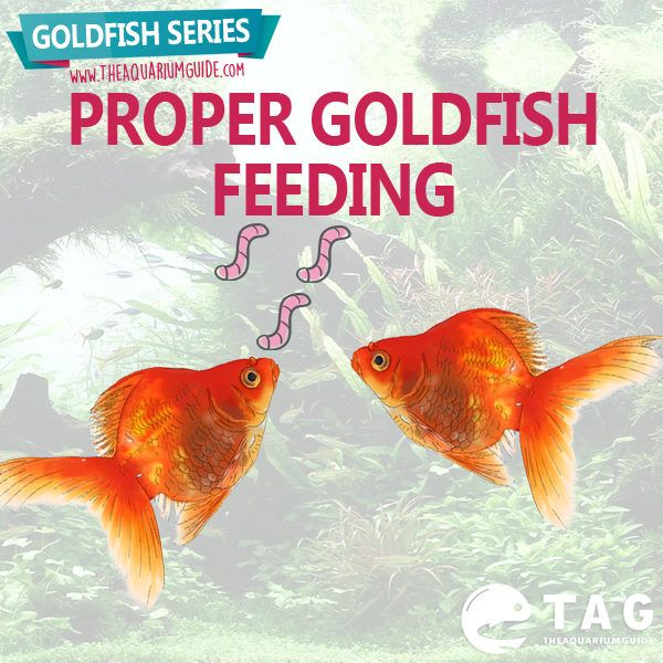 For the next part of my Goldfish Series, I'm going to share on proper goldfish feeding. Let's see now what you should and should not feed your goldfish.