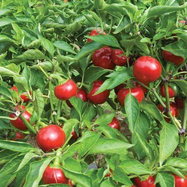 Capperino Pepper Seeds (Capsicum annuum) + FREE Bonus 6 Variety Seed Pack - a $30 Value!