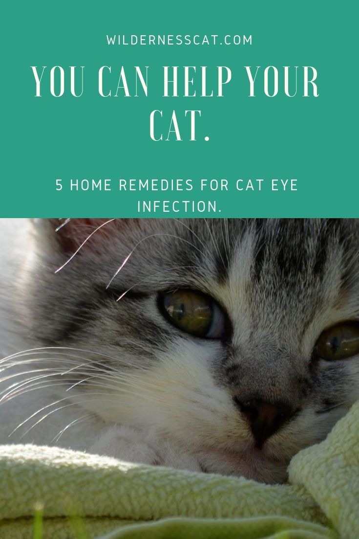 Home Remedies For Cat Eye Infection Wildernesscat Cat Eye Infection Eye Infections Cat Eye Discharge