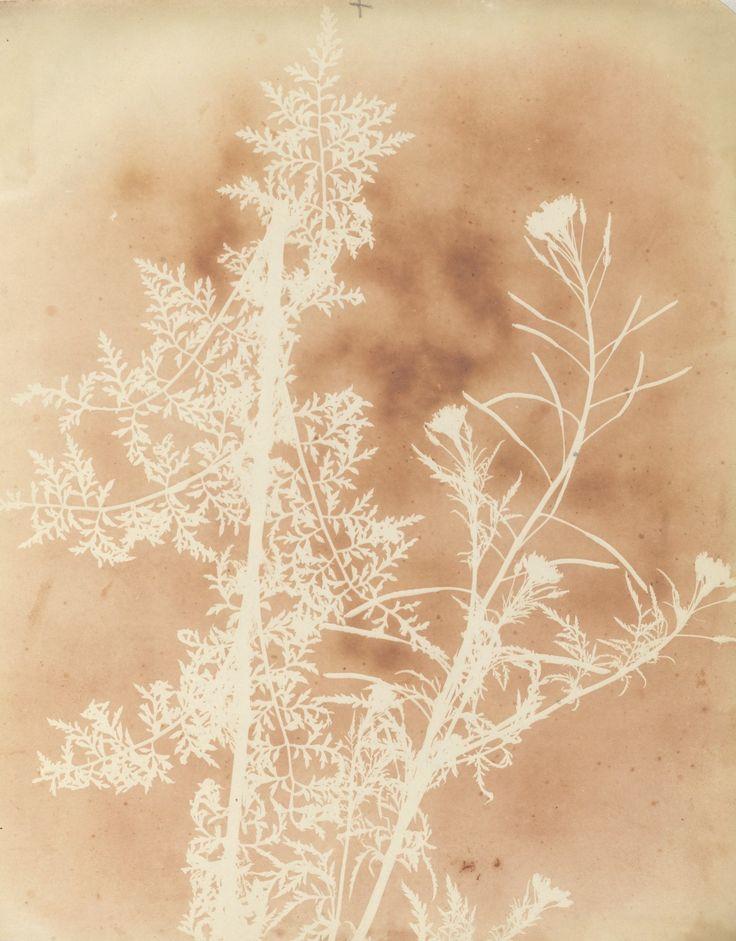 "William Henry Fox Talbot 1834-1839 Dibujos fotogénicos. ""Especímenes botánicos"""