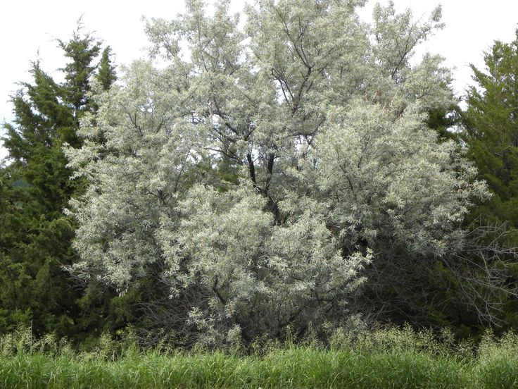 Known to us as the Russian olive tree, this is what is making my world ...