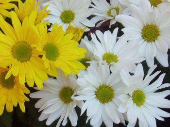 Crisantemo: siempre en flor | Cuidar de tus plantas es facilisimo.com