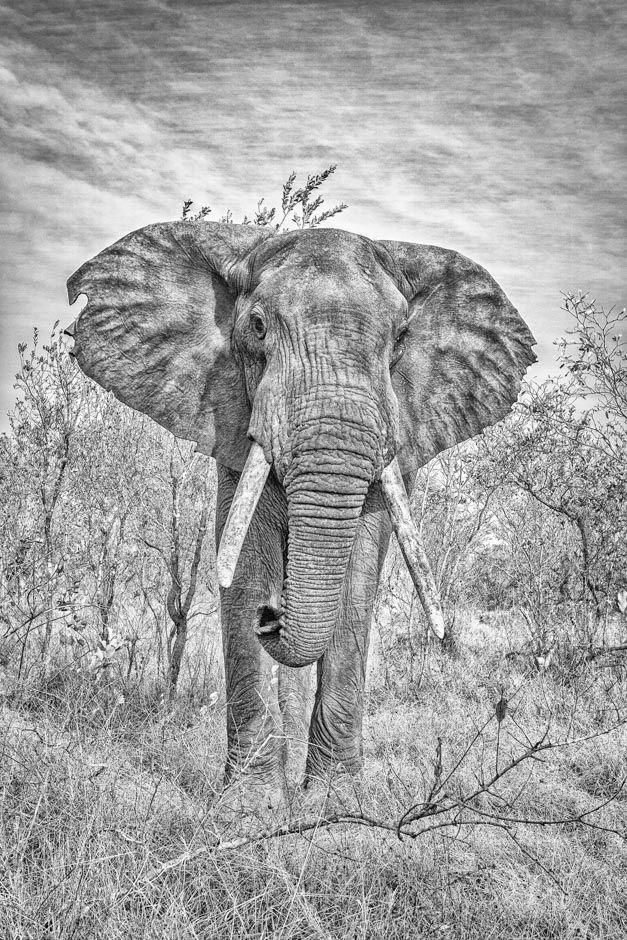 Wildlife print in BW of a bull elephant