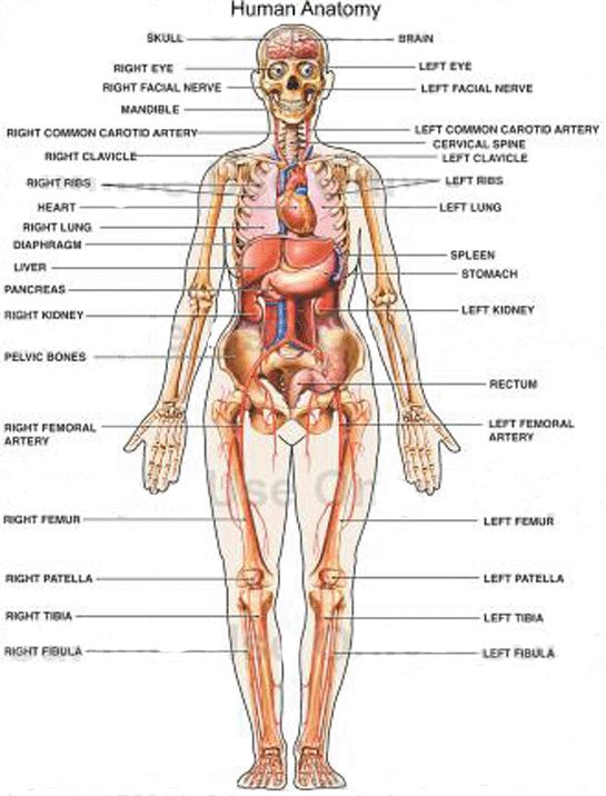 Human body diagram appendix female human body diagram appendix human body diagram appendix female human body diagram appendix archives anatomy organ hs science pinterest anatomy organs body diagram and human ccuart Images