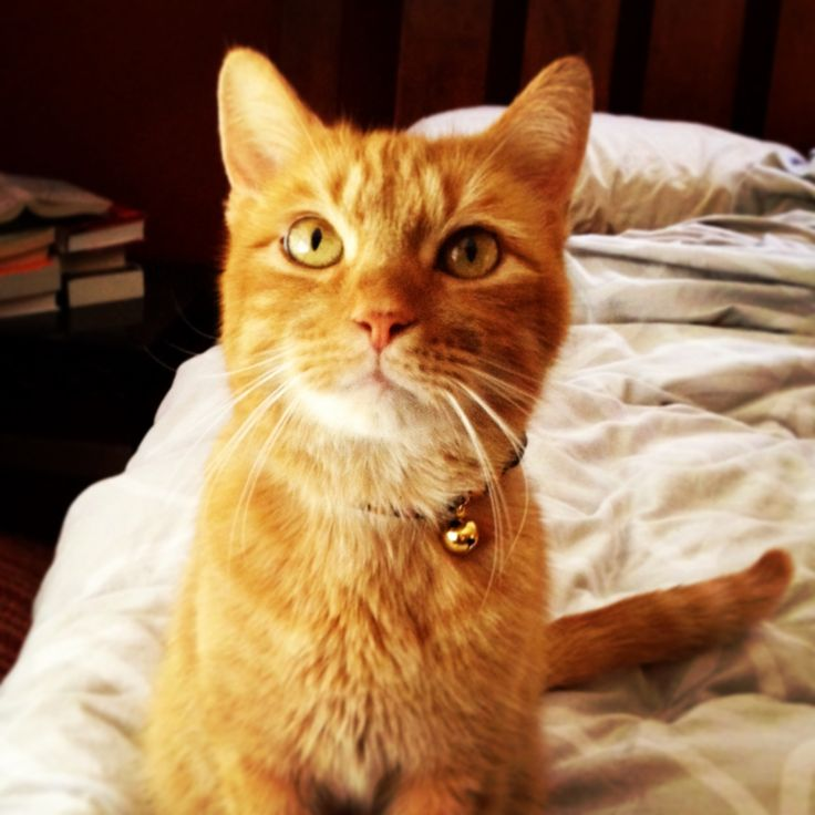 Orange Tabby Cat My Life Pinterest