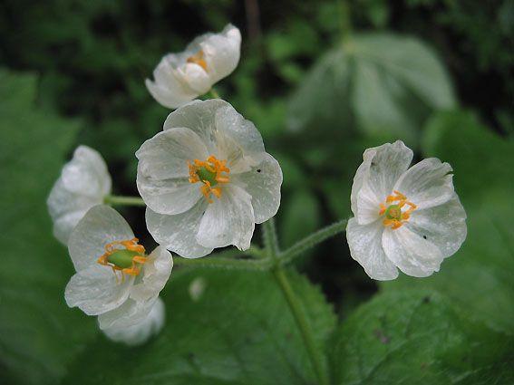 朝露の水分を吸うと、花びらが透明になる美しい花、「山荷葉(サンカヨウ)」を知っていますか?花言葉は「親愛の情」。 メギ科サンカヨウ属の多年草で、直径2cmほどの白い花を数個つけるそうです。   1ページ目