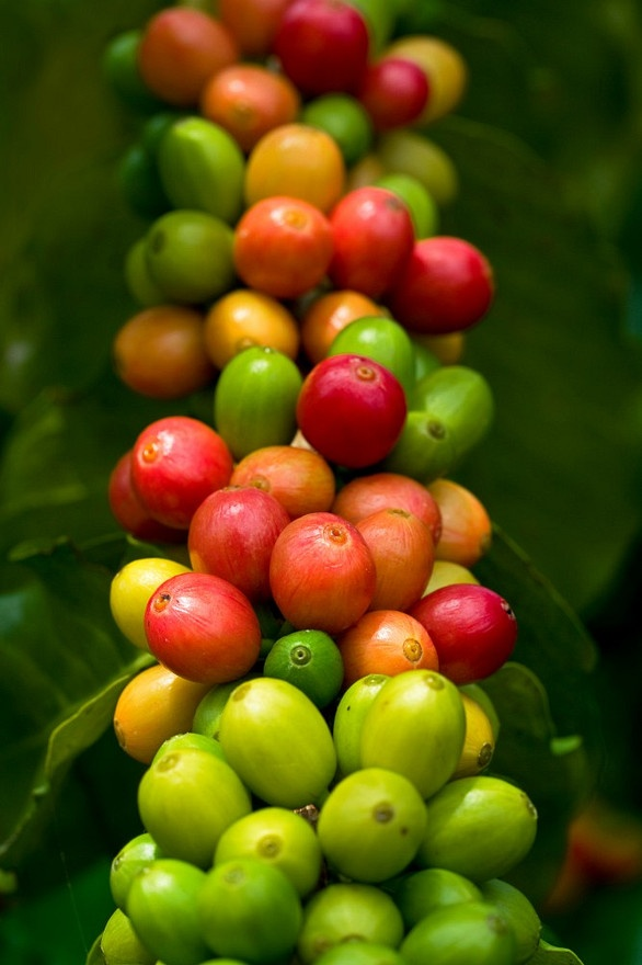 Kona coffee cherries on branches of coffee trees