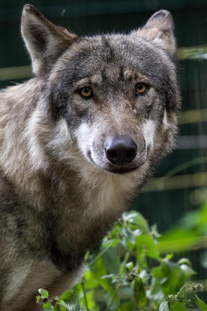 Wolfcenter 1.6 von PhotoArtBrandt