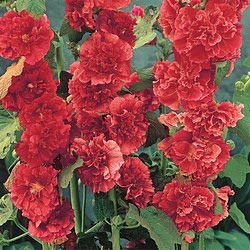 Double Red Hollyhock: Gardeningoutdoor Ideas