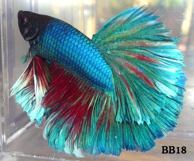442 best beautiful bettas fantastic fish images on for Care for betta fish