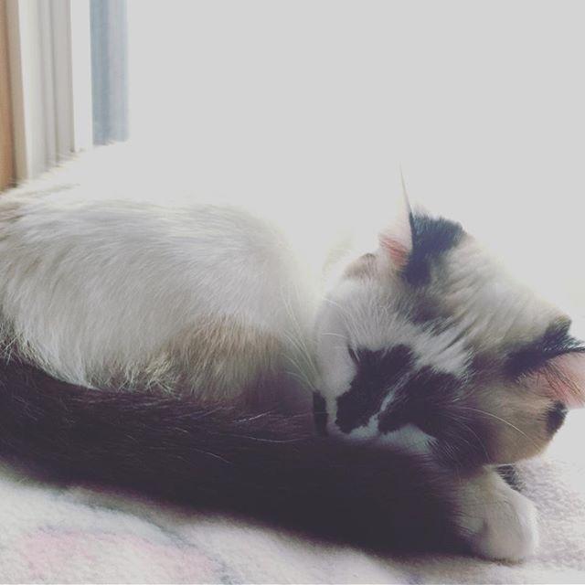 今日も雨ね #ゆととノア#眠り猫#愛猫#シャムミックス#ぶち猫#子猫#雨降り#猫のいる暮らし