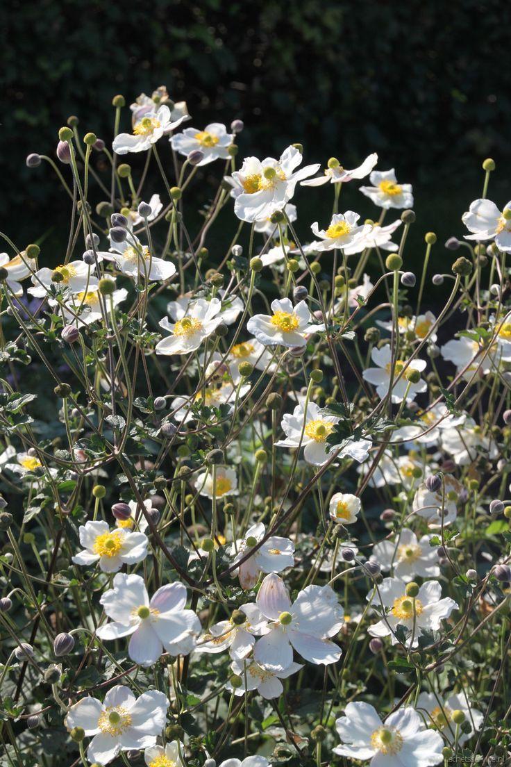 Anemone hupehensis 'Alba' is een mooie witbloeiende herfstanemoon. Eigenlijk een goede concurrent voor de bekendere A. 'Honorine Jobert' maar met meer bloemen. De hoogte is ongeveer 80 cm. Zon tot halfschaduw. Beschrijving: www.schetsservice.nl. Foto gemaakt op Kwekerij De Hessenhof