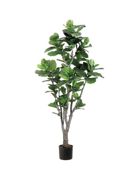 This lovely indoor tree (actually a species of ficus) has large, dark-green leaves that seem to form the vague outline of a fiddle or violin—that's how it gets its name.