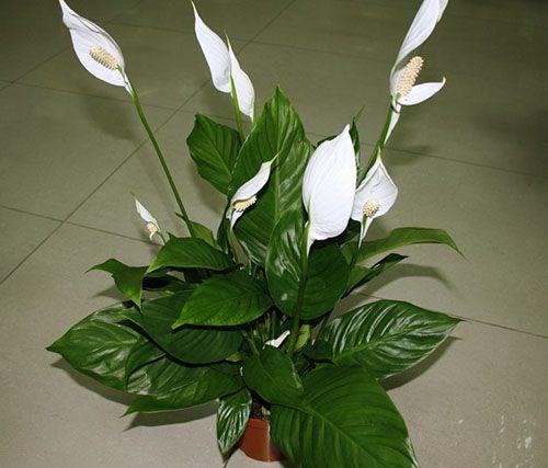 Правильная пересадка спатифиллума после покупки. Комнатные цветы живут постоянно в условиях, лишь удалённо напоминающих природные. Поэтому декоративность растения зависит от многих факторов. Пересадка спатифиллума является обязательным приёмом в усл…
