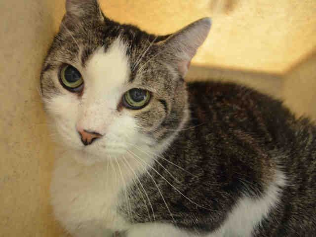 RASPBERRY  – A1107901 - 7yrs  NEUTERED MALE, BRN TABBY / WHITE, DSH - PURRS & SNUGGLES - CAME IN WITH LARGE GROUP OF CATS – HAS SOME GROWTHS IN EARS AND DIARRHEA – NEEDS A NEW HOME!